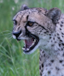 Mouthy Cheetah