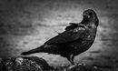 Black Bird Surprise