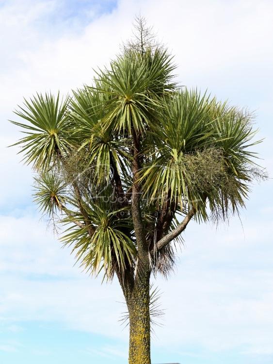bushy topped tree