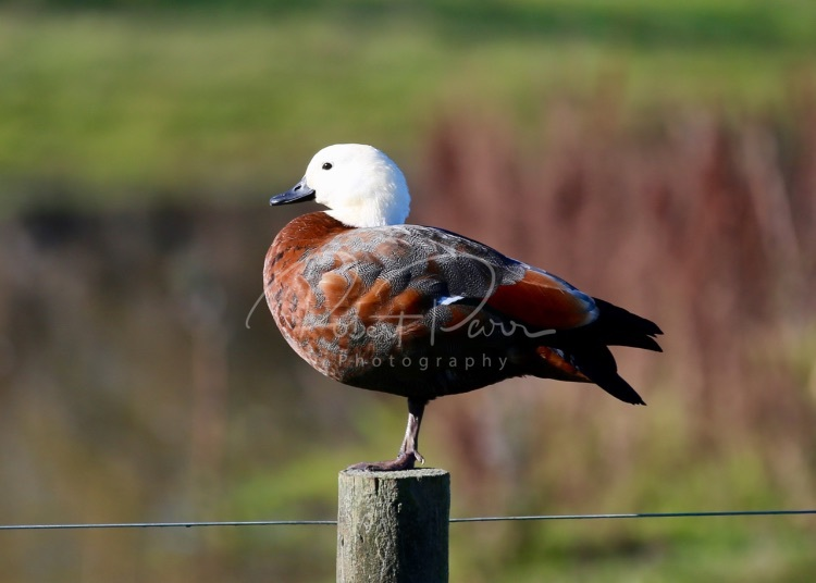 duck on a post