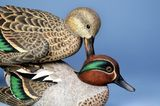 Hen pecked Teal