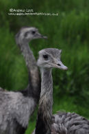 """TWO EMU'S"""