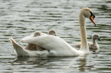 Cygnets taking a Ride