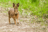 Hare on Path