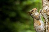 Squirrel Hanging