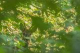 Deer Peeking