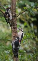 Great spotted woodpecker fest