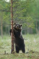 Standing adult brown bear