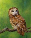 Watchful,  Tawny Owl