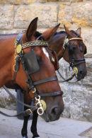 Horses of Seville
