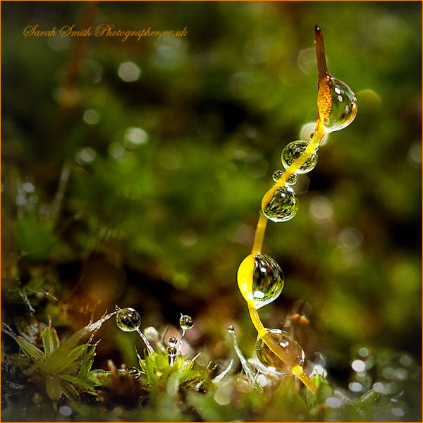 Dew drops on Moss