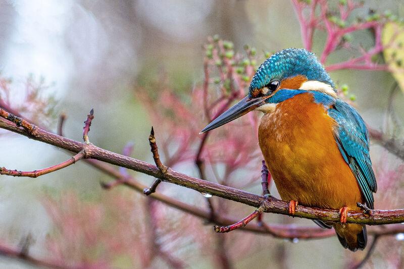 Kingfisher At The Botanics
