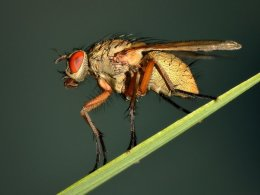 Robber Fly On Leaf