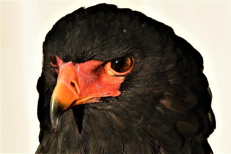 African Bateleur Eagle