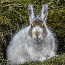 Almost Winter Hare