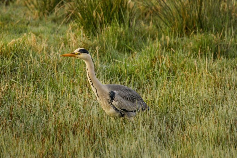 Early Morning Heron