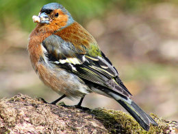 Greedy Chaffinch