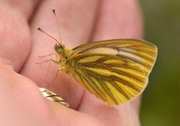 My pet butterfly