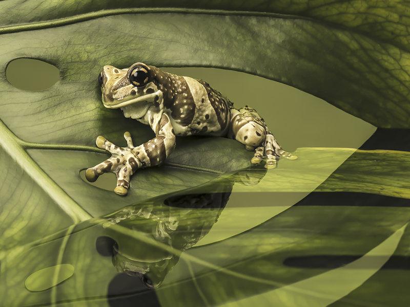 Milkfrog