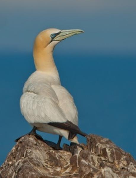 Posing Gannet