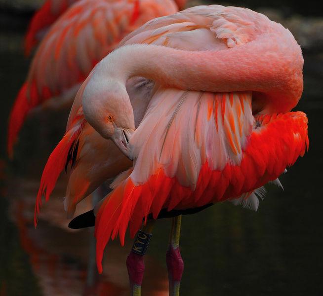 Preening Flamingo