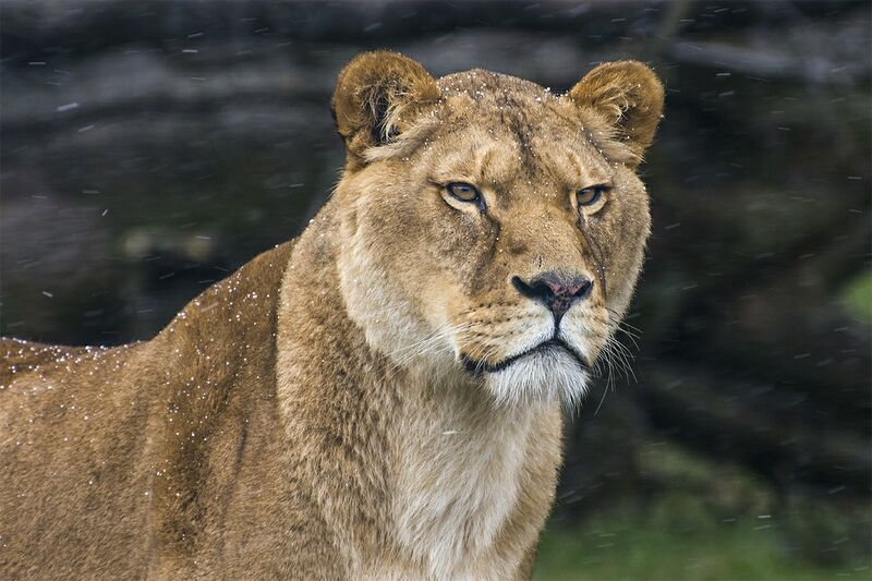The Snow Lioness