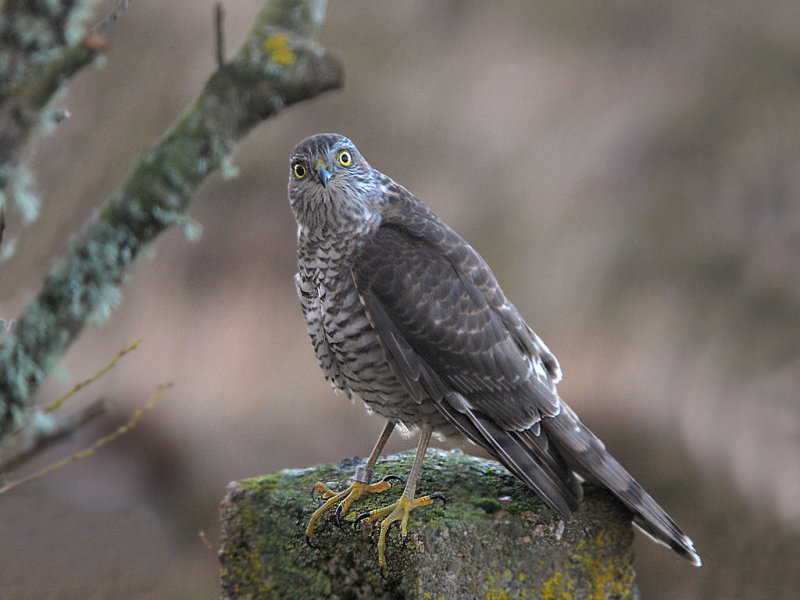 Young Sparrowhawk On Patrol