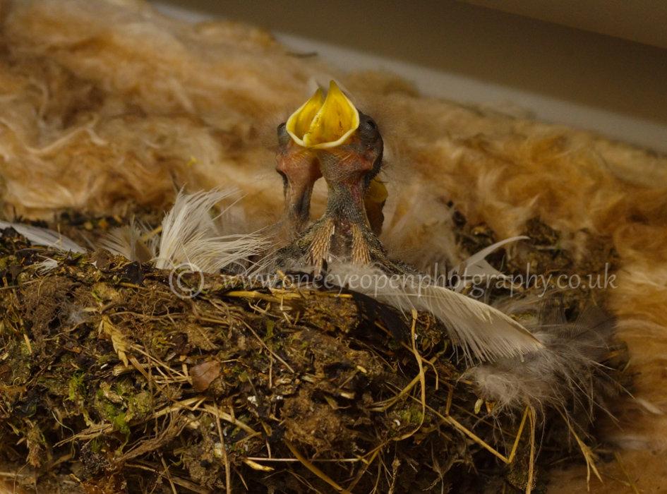 Swallow Chicks 2014