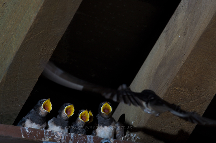 Swallow chicks of 2013