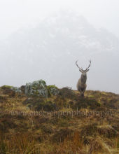 Kings House Stag