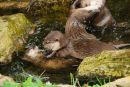 Asian Otter 2. (Aonyx cinerea),