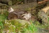 Asiatic Otter 1 (Aonyx cinerea),