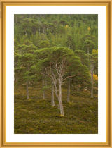 Caledonian Forest.