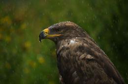 Steppe eagle 2 (captive)