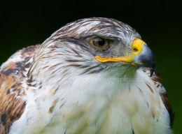 Ferruginous Hawk (captive)