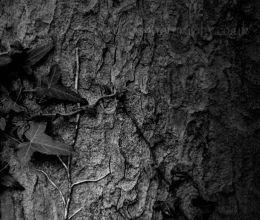 creeping Ivy