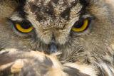 Eyes of an Eagle Owl