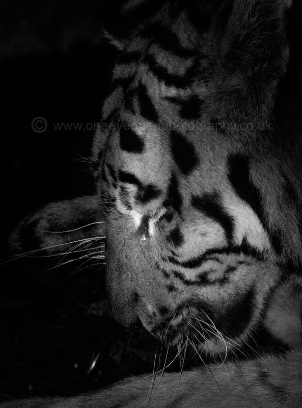 Crying Tiger