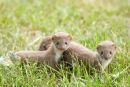 Least Weasel 1(Mustela nivalis)
