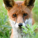 Close up fox