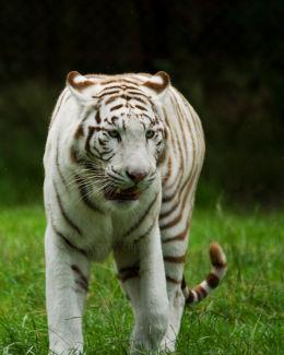 White tiger(captive)