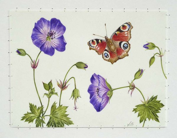 Peacock Butterfly & Geranium Rozanne