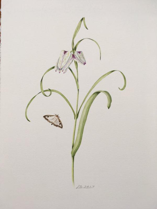 Fritilaria and moth