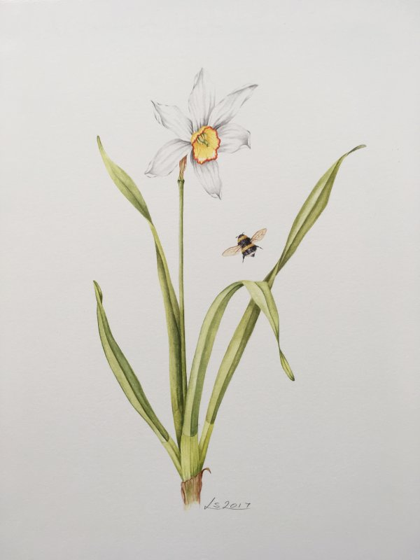 Narcissi and Bumble bee