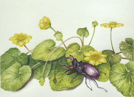Celandine & Stag Beetle