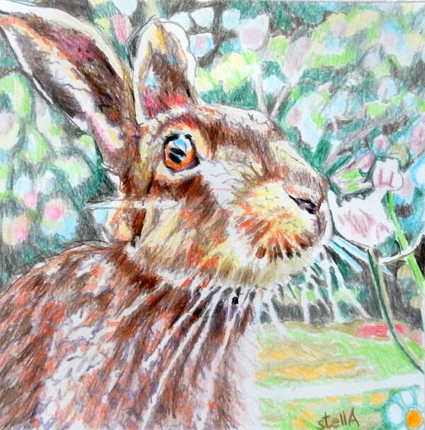 Harry hare animal drawing by Stella Tooth