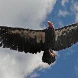 Californian Condor