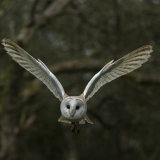 Barn Owl using his ailerons coming into land!