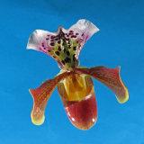 Mali's Slipper Orchid