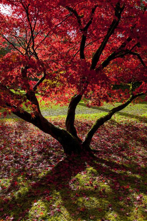Acer palmatum Westonbirt Arboretum